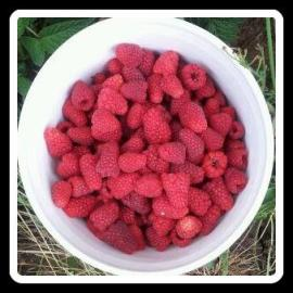 berry bucket